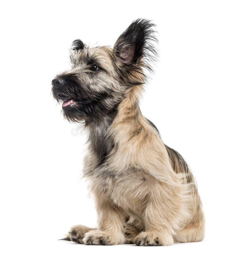 Vista laterale di un cane di Skye Terrier isolato su bianco fotografia stock libera da diritti