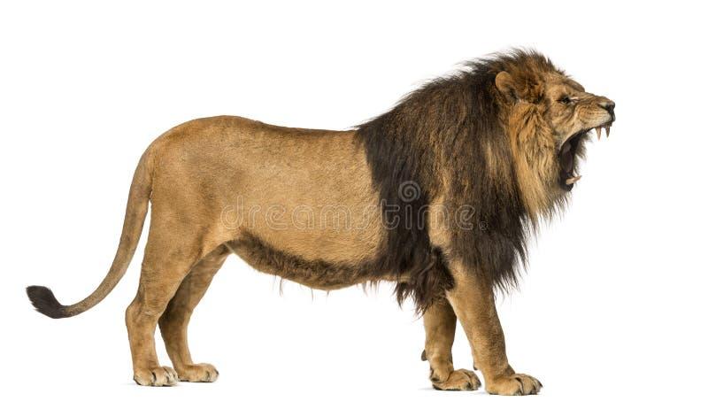 Vista laterale di un leone che rugge, stante, panthera Leo, 10 anni di ol fotografia stock