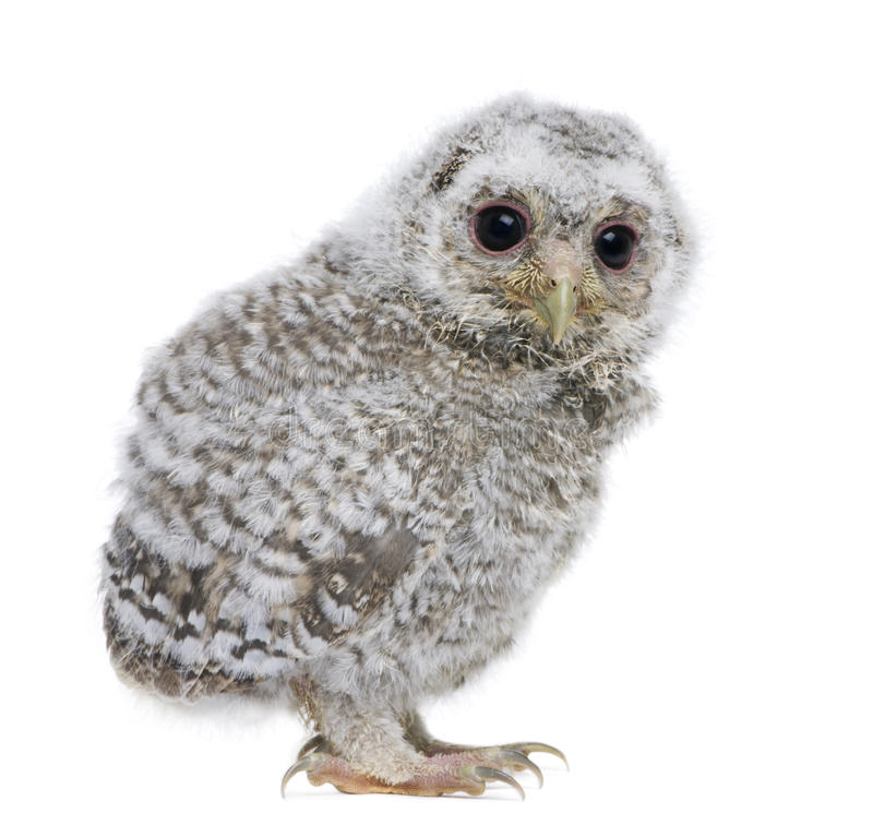 Vista laterale di un owlet - noctua del Athene (vecchio 4 settimane) immagine stock