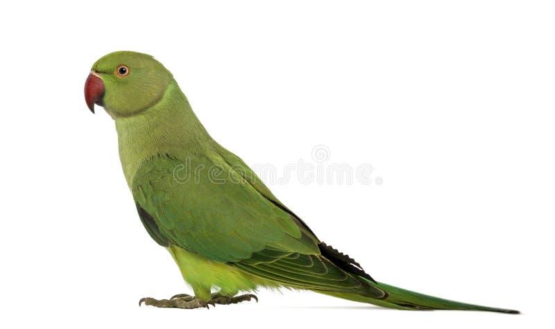 Vista laterale di un Parakeet Rosa-anellato immagine stock