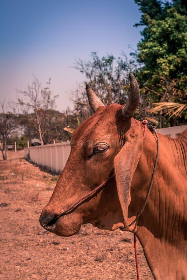 Vista laterale di una mucca fotografia stock