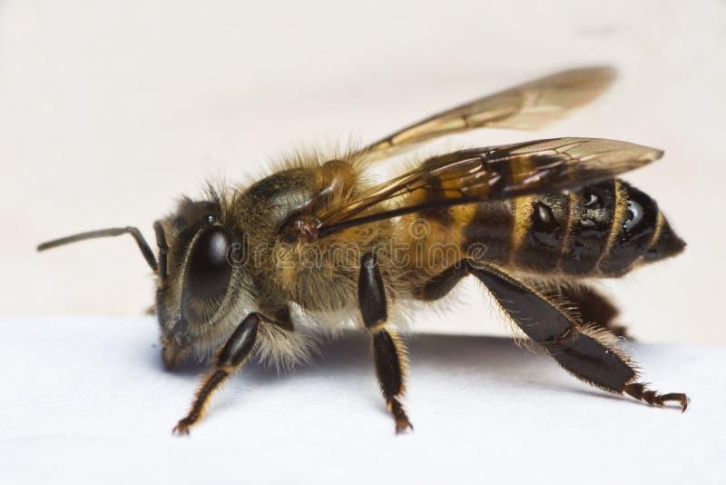 Vista laterale a macroistruzione dell'ape del miele fotografie stock libere da diritti
