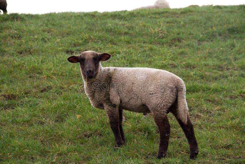 Vista laterale su una pecora bianca su un'area dell'erba nel emsland Germania del rhede SME fotografia stock