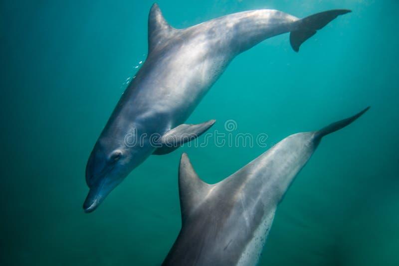 vista laterale subacquea Bottiglia-fiutata del delfino immagini stock libere da diritti