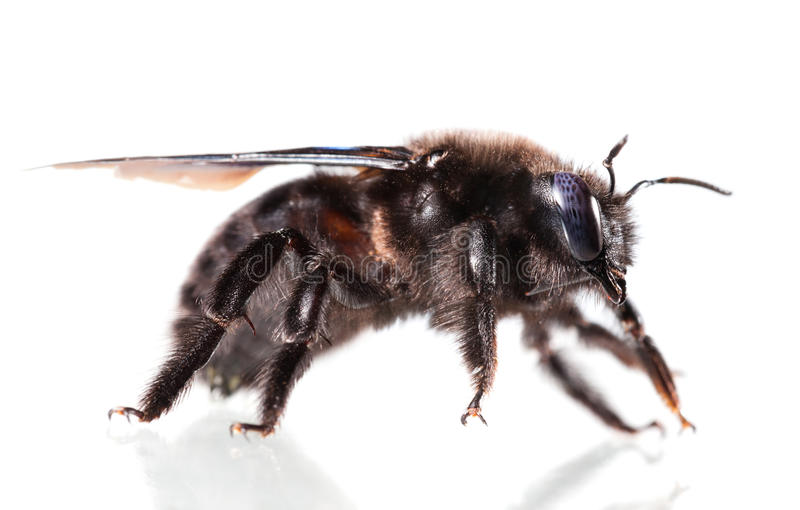 Vista laterale viola dell'ape di carpentiere immagine stock