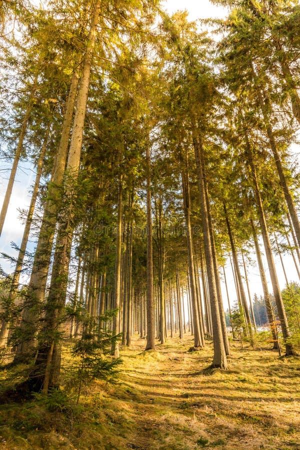 Vista mágica da floresta e das árvores durante o por do sol Luz suave e cores místicos, tronco de árvore e grama do outono imagem de stock