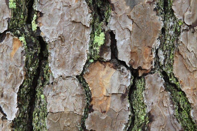 Vista macra de la corteza del pino con el musgo y el liquen foto de archivo libre de regalías