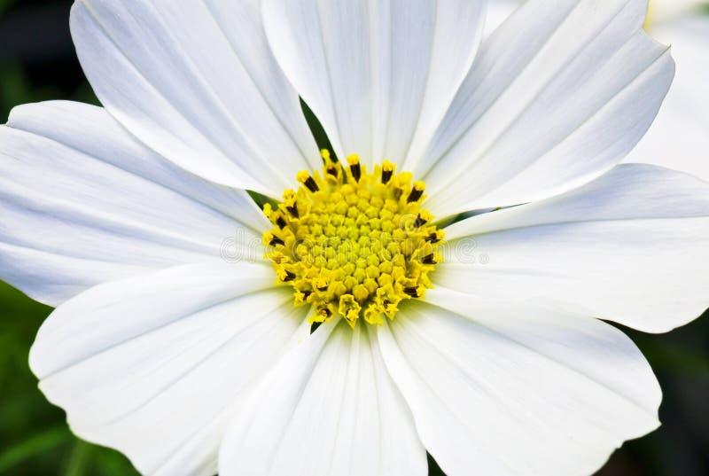Vista macra de una flor blanca de Cosmo imagenes de archivo