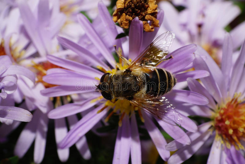 Vista macra del top de la flor rayada caucásica una mosca foto de archivo