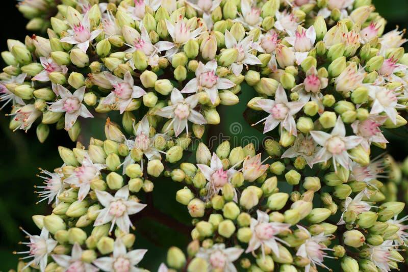 Vista macra desde arriba de las inflorescencias florecientes del blanco fotografía de archivo libre de regalías