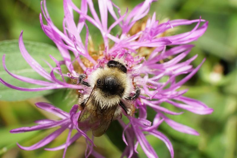 Vista macra desde arriba de un abejorro caucásico blanco-negro Bombu imagenes de archivo