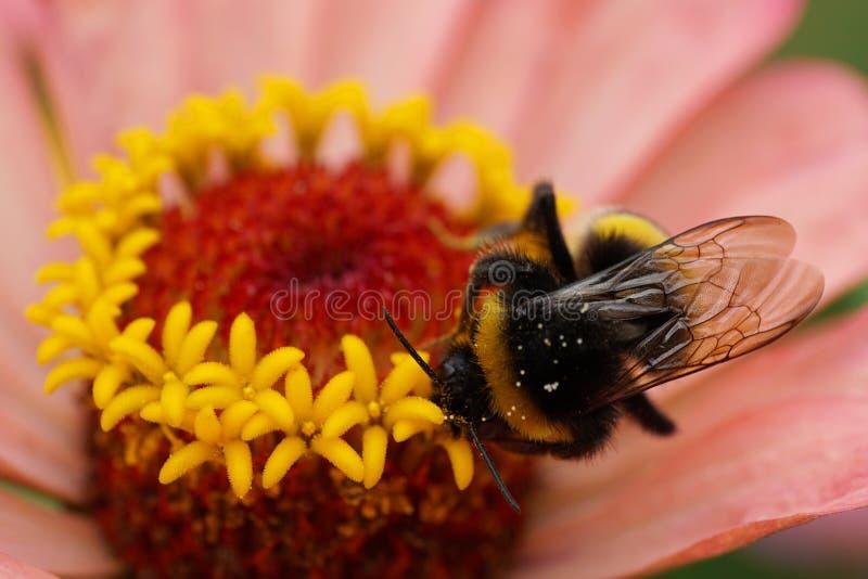 Vista macra desde arriba del lucorum caucásico del Bombus del abejorro con fotografía de archivo libre de regalías
