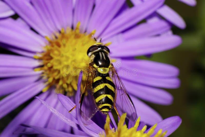Vista macra hoverfly rayados de los wi negros y amarillos superiores de una mosca imagen de archivo
