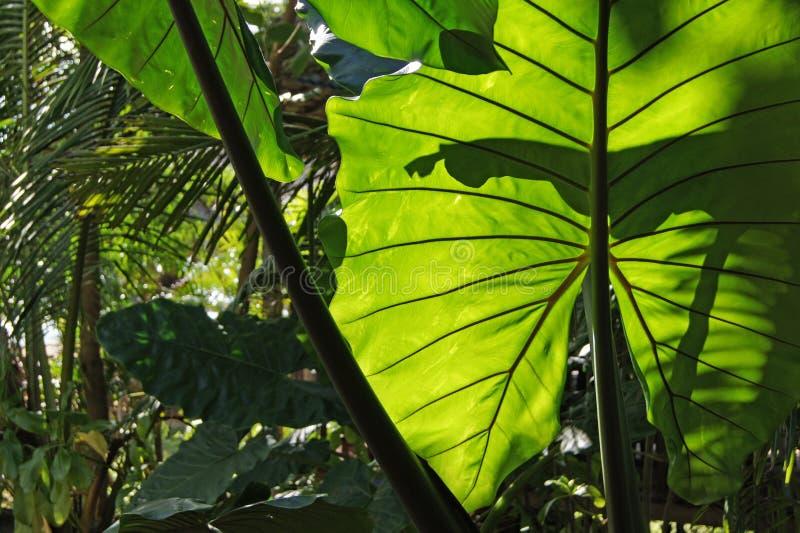 A vista macro do gigante veou a folha verde de uma planta exótica na floresta tailandesa sob a luz solar Khao Lak imagem de stock royalty free