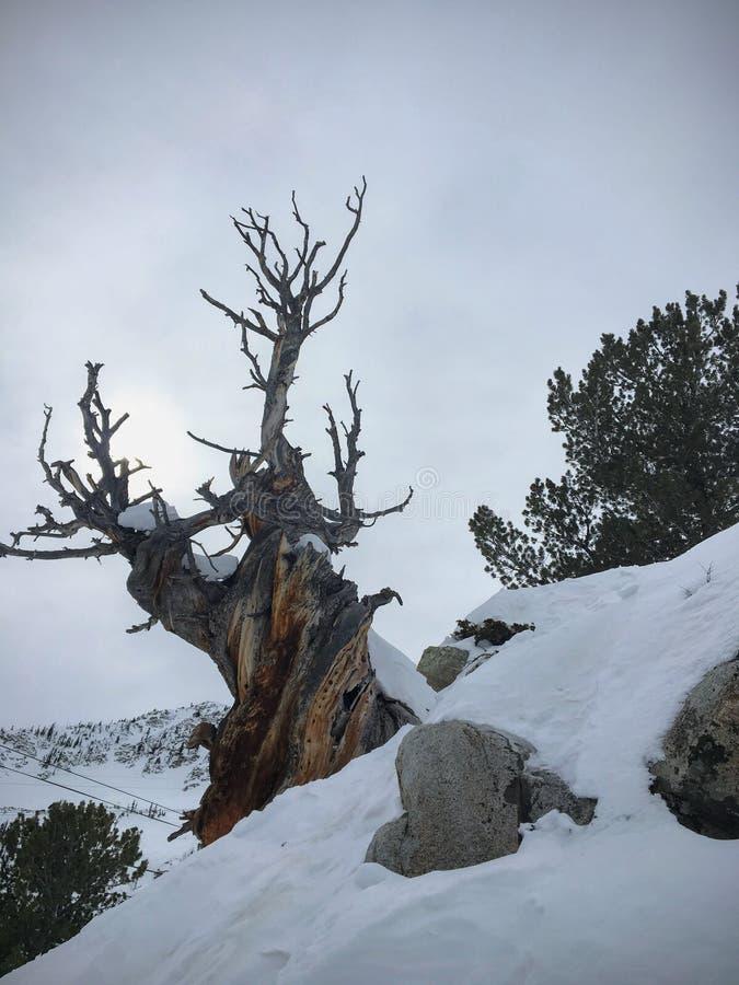 Vista maestosa di inverno del pino gnarly morto del deserto antico, intorno a Wasatch Front Rocky Mountains, Brighton Ski Resort, fotografie stock libere da diritti