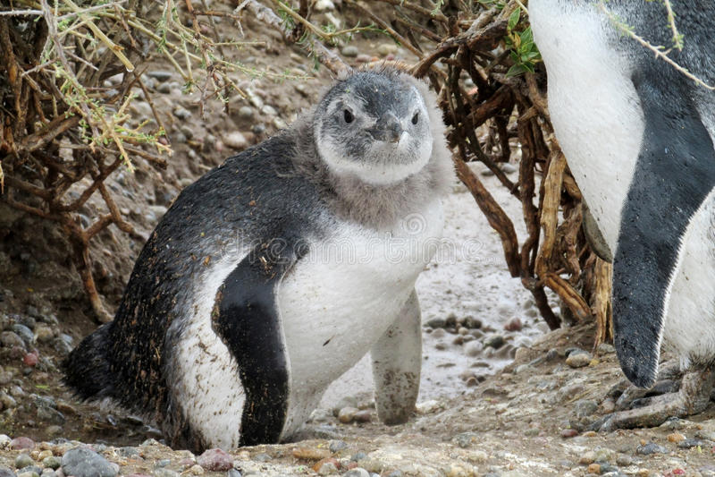 Vista magellanic do pinguim do bebê imagens de stock royalty free
