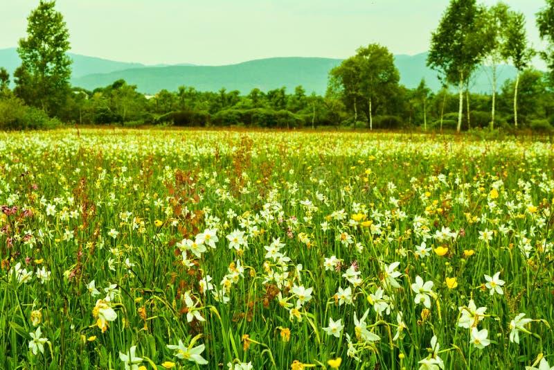 Vista maravilhosa completamente do narciso nas montanhas Carpathian imagens de stock