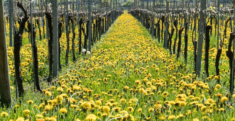 Vista maravilhosa dos vinhedos na mola com flores amarelas e fileiras infinitas das videiras fotografia de stock royalty free