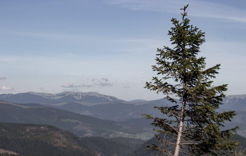 Vista maravillosa de las montañas de Cárpatos con colores silenciados del primero plano del pino Paisaje de las montañas de Cárpa imagenes de archivo