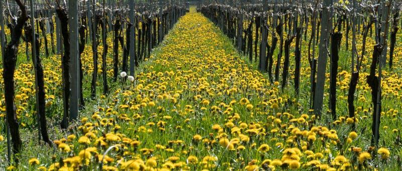 Vista maravillosa de viñedos en primavera con las flores amarillas y filas sin fin de vides imagen de archivo