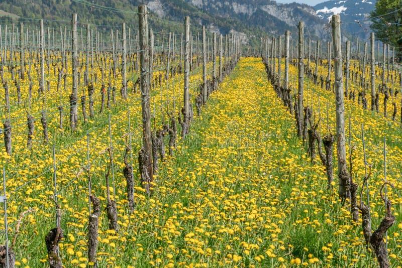 Vista maravillosa de viñedos en primavera con las flores amarillas y filas sin fin de vides imagenes de archivo