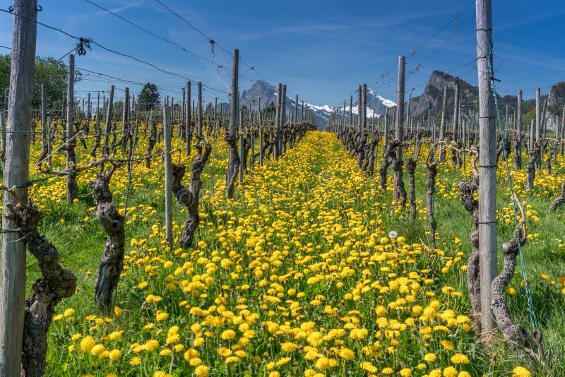 Vista maravillosa de viñedos en primavera con las flores amarillas y filas sin fin de vides fotografía de archivo libre de regalías