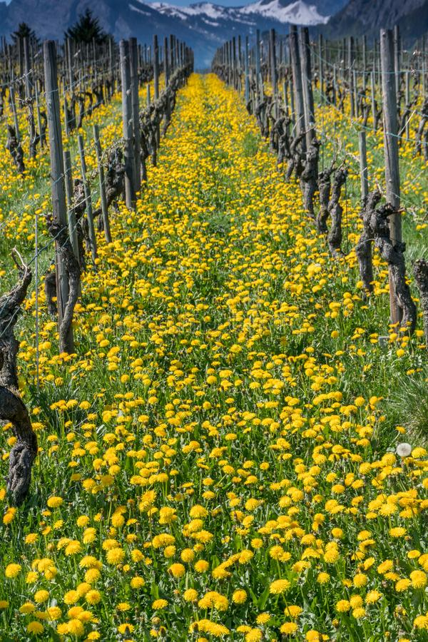 Vista maravillosa de viñedos en primavera con las flores amarillas y filas sin fin de vides fotos de archivo libres de regalías