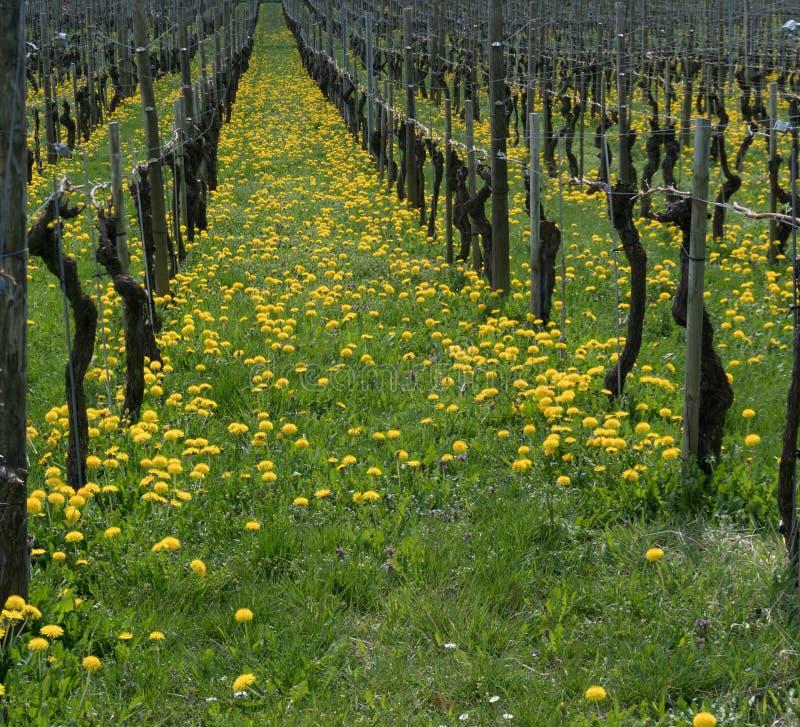 Vista maravillosa de viñedos en primavera con las flores amarillas y púrpuras foto de archivo libre de regalías