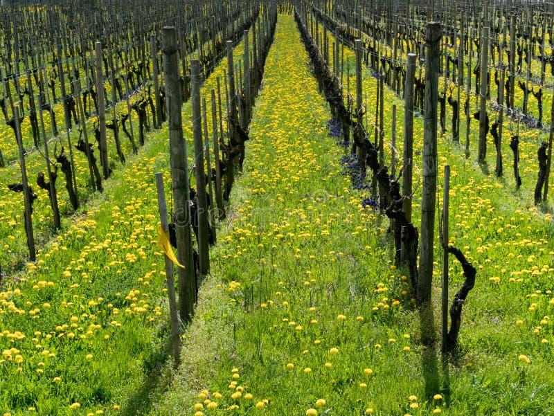 Vista maravillosa de viñedos en primavera con las flores amarillas y púrpuras imagen de archivo libre de regalías