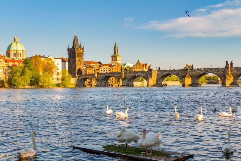 Vista na ponte e nas cisnes de Charles no rio de Vltava em Praga no por do sol, República Checa imagens de stock royalty free