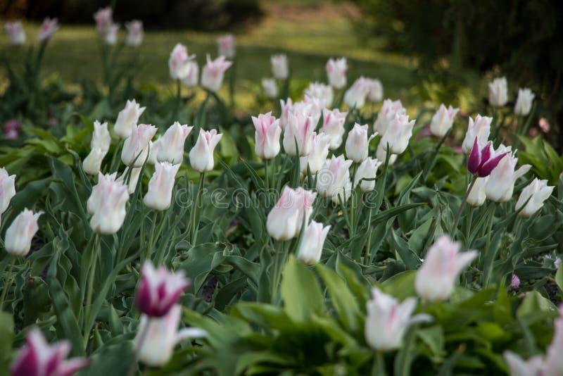 Vista natural de las flores del tulipán que florecen en el jardín con la hierba verde Naturaleza, primavera fotografía de archivo