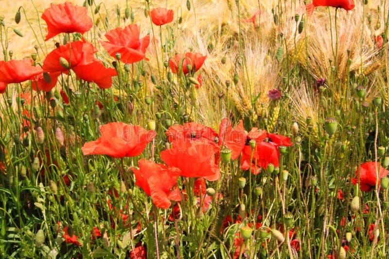 Vista no campo de grama da cevada no verão com os rhoeas vermelhos do Papaver das flores da papoila de milho foto de stock