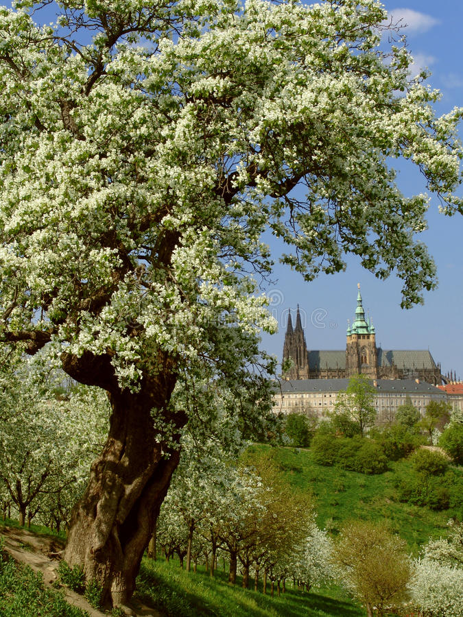 Vista no castelo gótico de Praga com árvores de florescência fotos de stock royalty free
