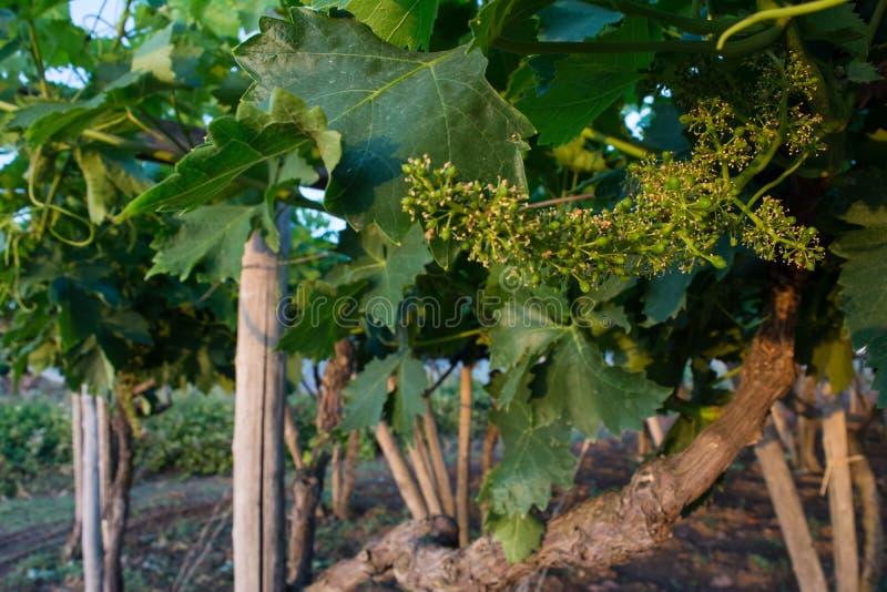 Vista orizzontale dei mazzi non maturi in una piantagione dell'uva ai soli fotografie stock