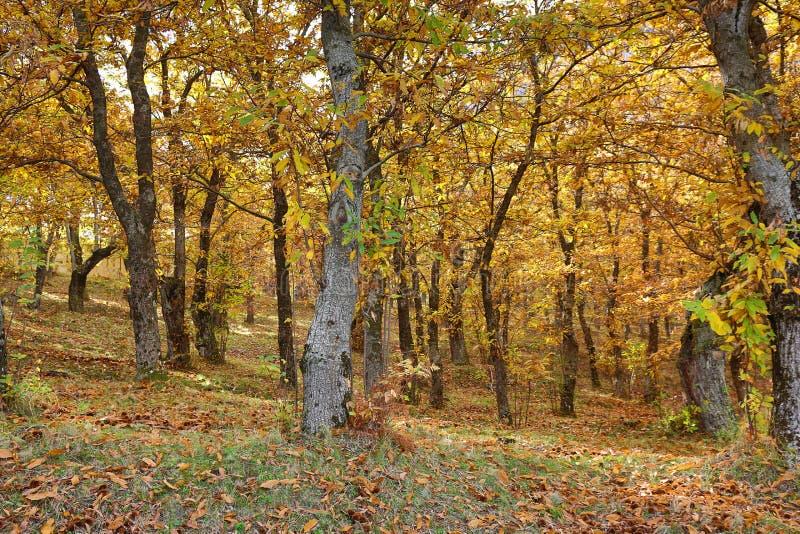 Vista otoñal de un bosque de la castaña foto de archivo libre de regalías