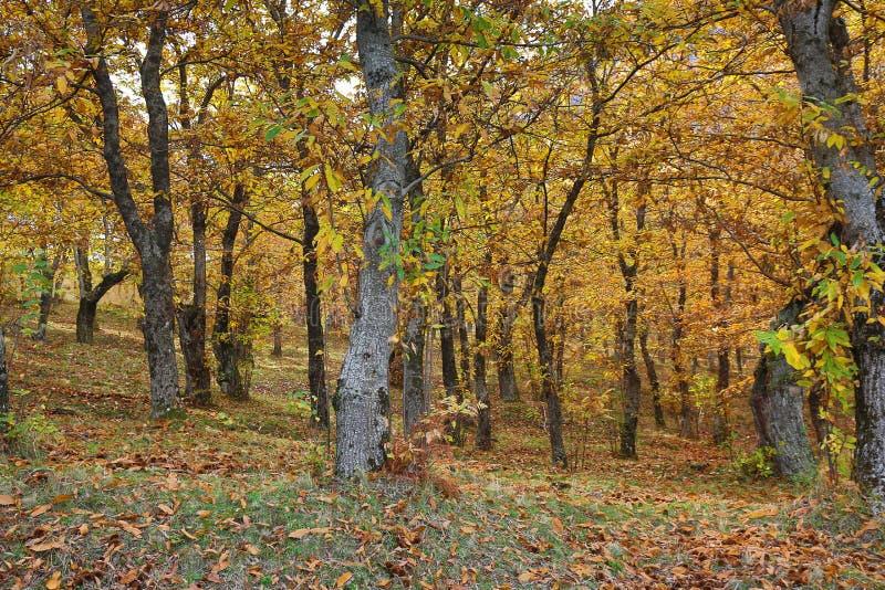 Vista otoñal de un bosque de la castaña imágenes de archivo libres de regalías