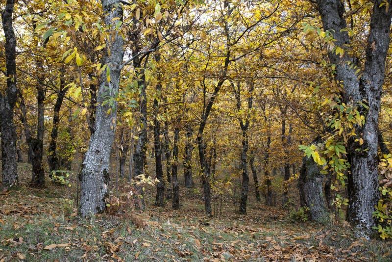 Vista otoñal de un bosque de la castaña fotografía de archivo libre de regalías