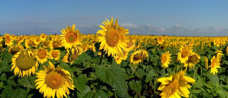 Vista panorámica de un campo de girasoles florecientes y del cielo azul en el fondo fotografía de archivo libre de regalías