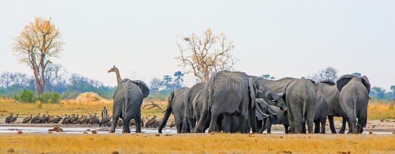 Vista panorámica de un waterhole ocupado con la jirafa, los elefantes y los alots de los buitres, Makololo Waterhole, parque naci fotos de archivo