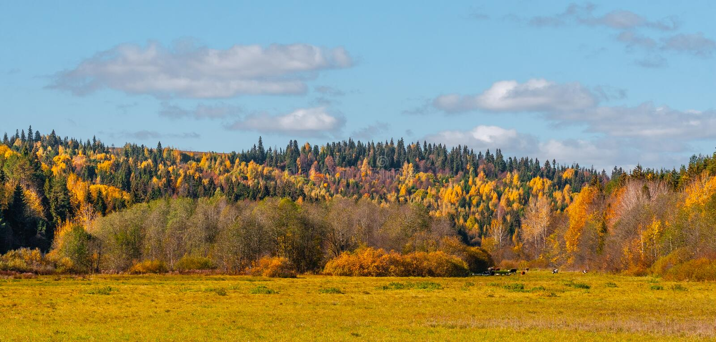 Vista panorámica de una madera y del campo, en los cuales las vacas se pastan, con las nubes en el cielo, un panorama de varios m fotos de archivo libres de regalías