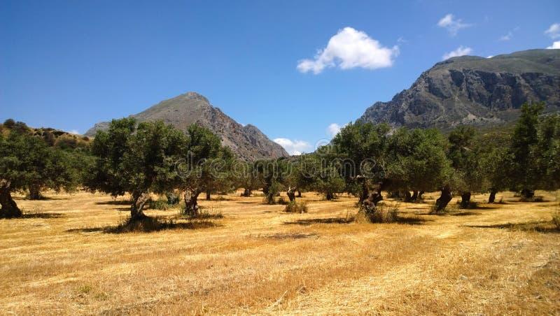 Vista panorámica del campo con los olivos y las montañas crecientes en el fondo en la isla de Creta imagen de archivo libre de regalías