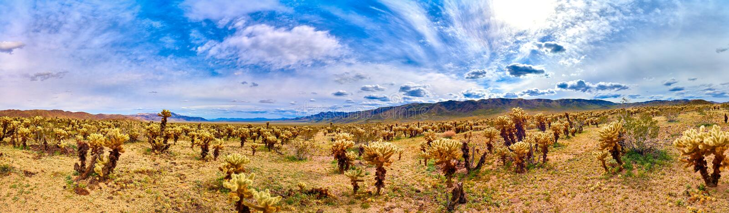 Vista panorámica del jardín del cactus de Cholla fotografía de archivo