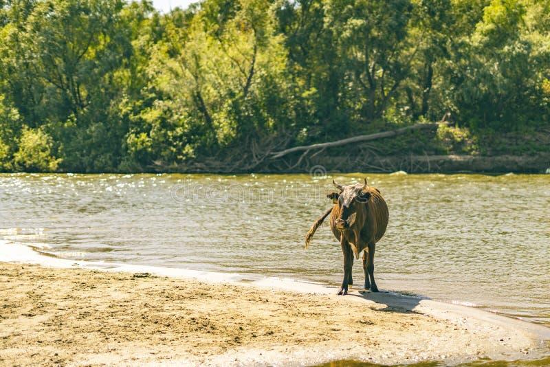 Vista panorámica del paseo del rebaño de vacas en el campo arenoso del verano cerca de la playa a del río fotos de archivo libres de regalías