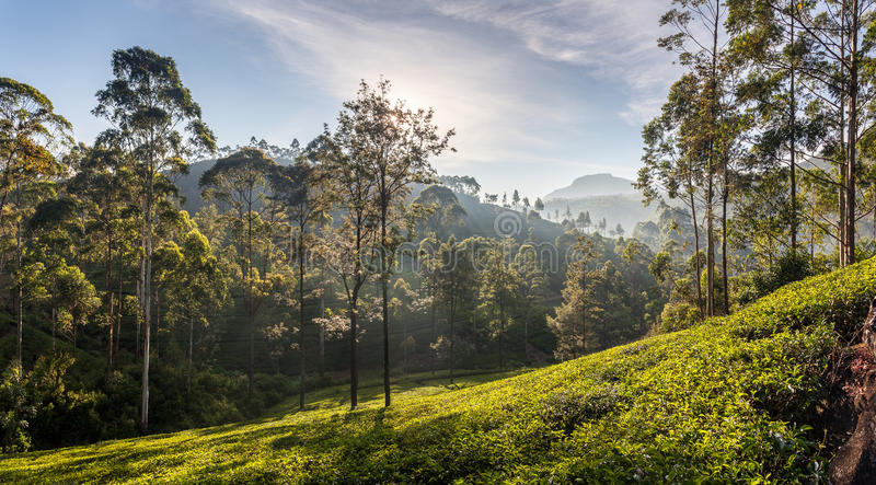 Vista panorámica hermosa de una plantación de té típica, Sri Lanka imagen de archivo libre de regalías