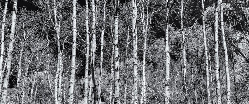 Vista panorâmica da floresta do álamo em preto e branco fotos de stock royalty free