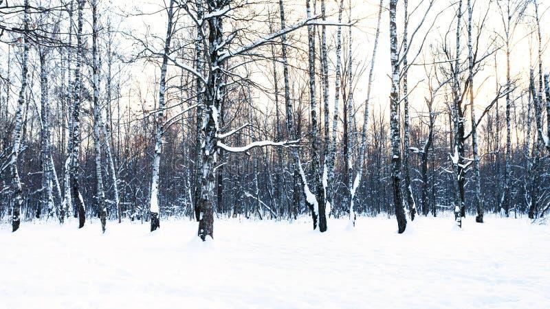 Vista panorâmica do bosque do vidoeiro no parque coberto de neve imagens de stock
