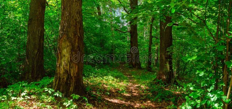 Vista panorâmica do passeio que passa através da floresta com carvalhos velhos imagem de stock