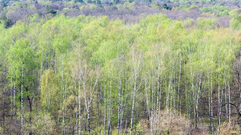 Vista panoramica della foresta con primo fogliame verde fotografia stock