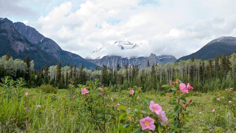 Vista panoramica della montagna scenica di Robson, dell'abetaia e dei cespugli di rose selvaggi di estate, immagine stock libera da diritti