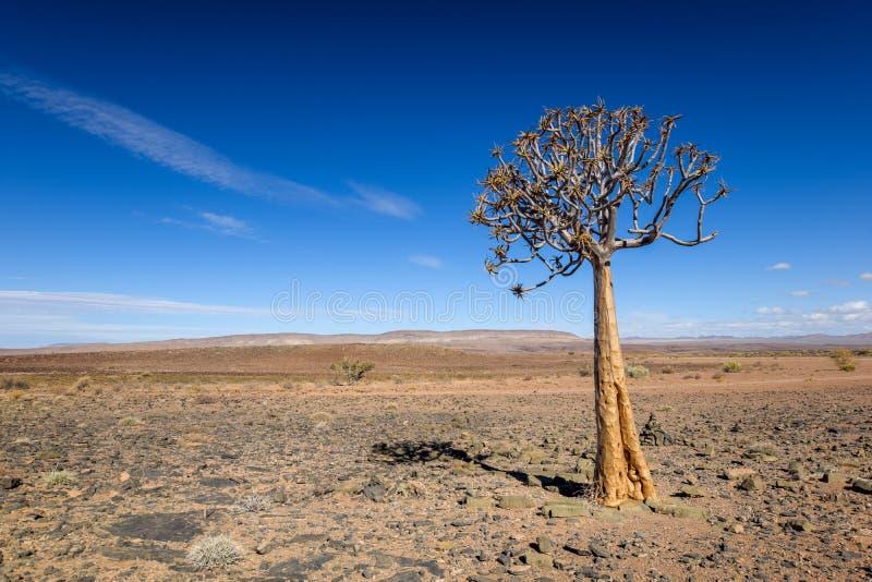 Vista panoramica di bello dichotoma dell'aloe dell'albero del fremito nel parco naturale del canyon del fiume del pesce in Namibi immagine stock libera da diritti